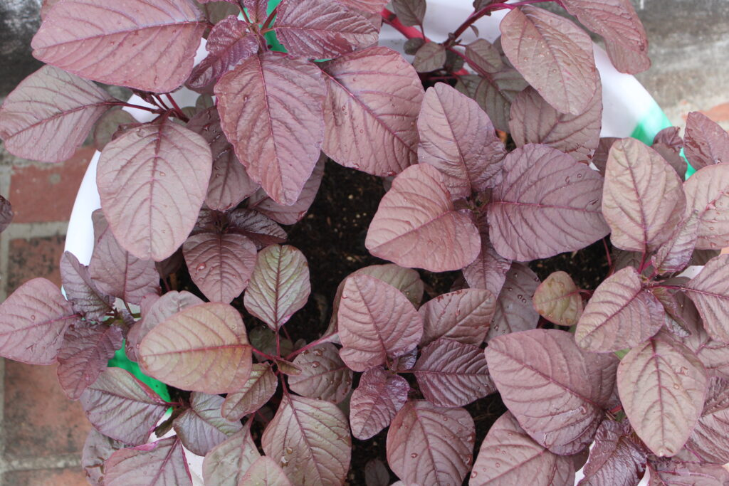 How to Grow Red Spinach at Home