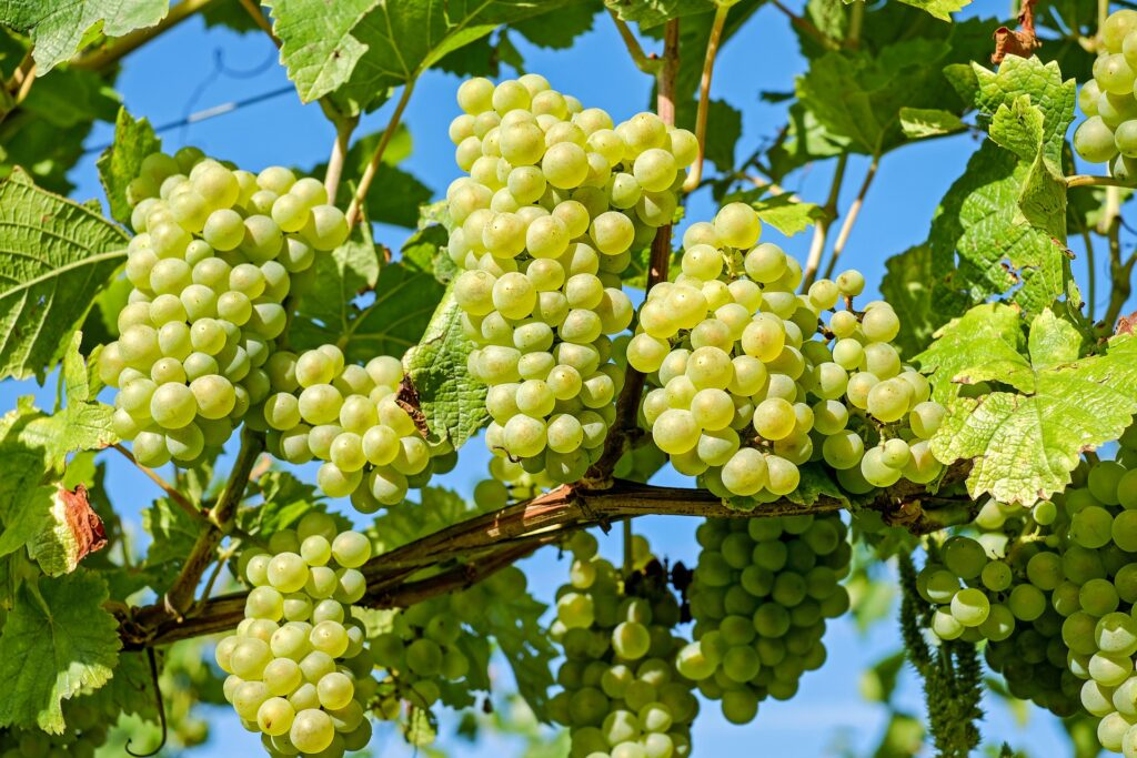 How To Grow Grapes plant in Terrace Garden?
